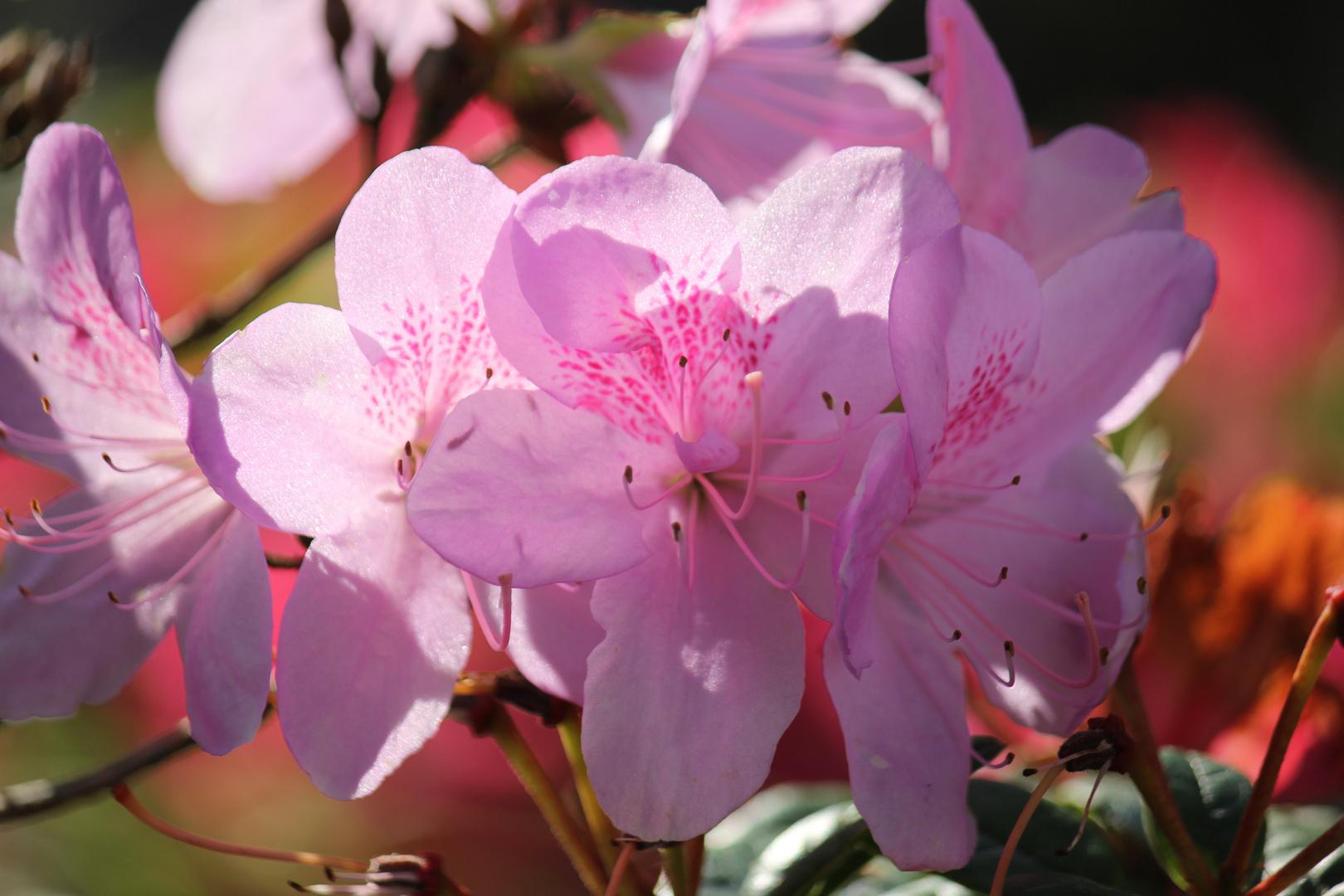 endlich Frühling II ! Rhododendronblüten