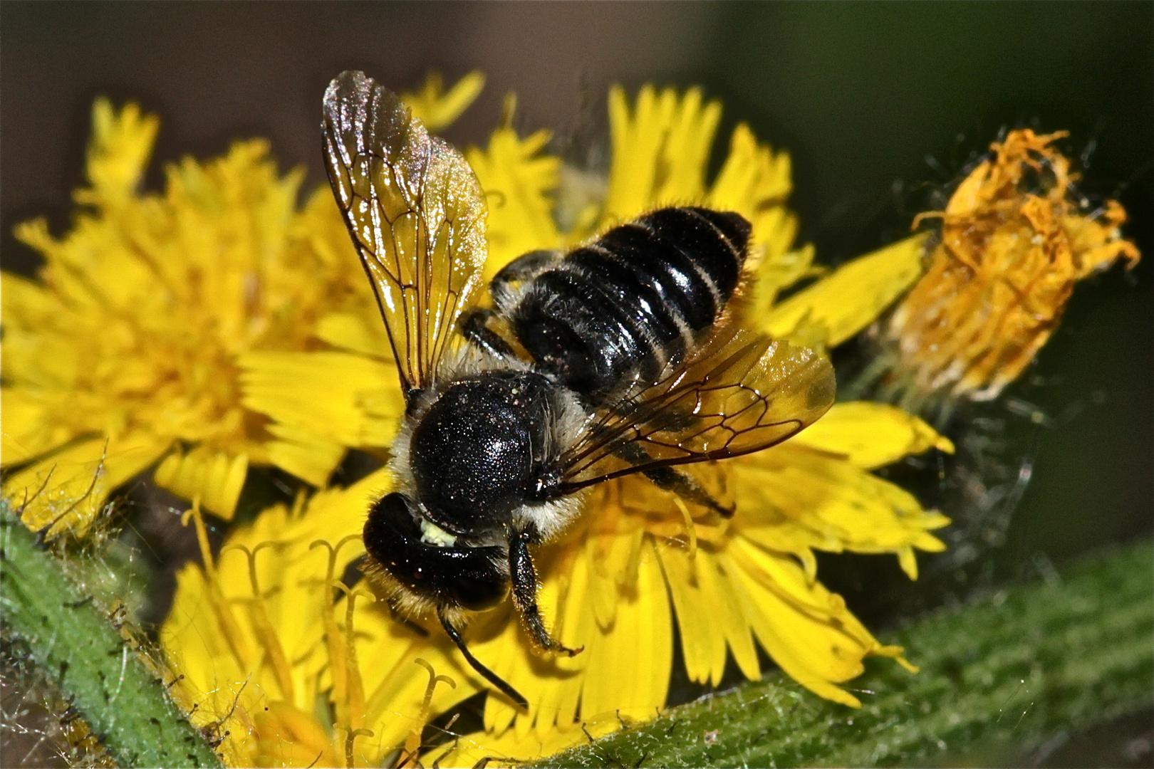 """Endlich habe ich sie bestimmen können: die """"Große"""" Blattschneiderbiene MEGACHILE WILLUGHBIELLA !"""