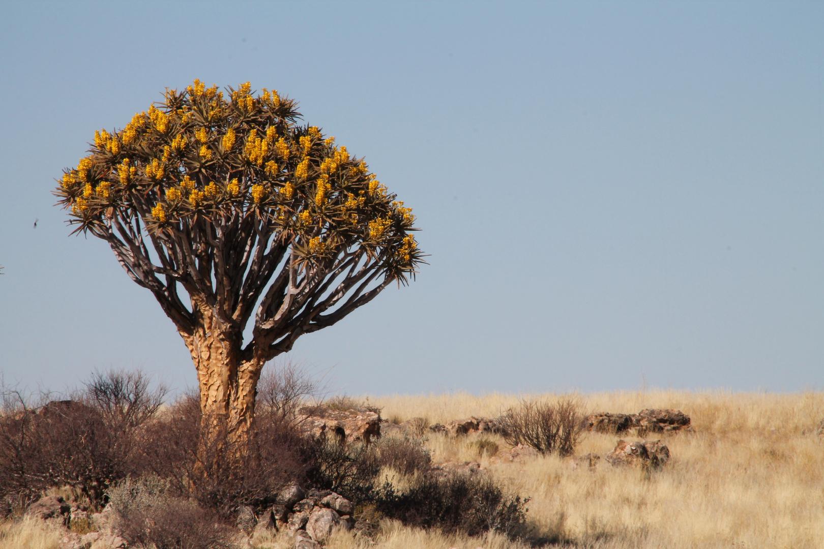 Endlich mal ein blühender Köcherbaum