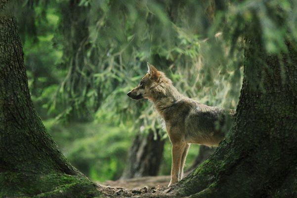 Endlich mal ein Wolf, wenn auch nur im Wildpark