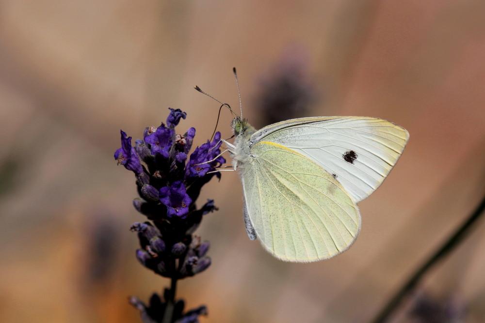 enfin un papillon clair saisi dans mon jardin !