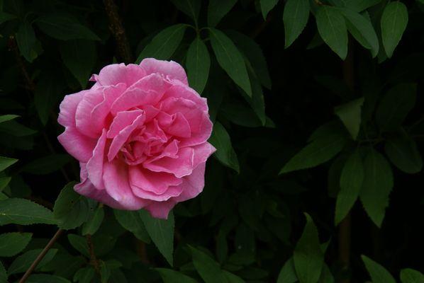 Enfin une rose