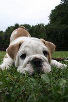 Englisch Bulldog Welpe
