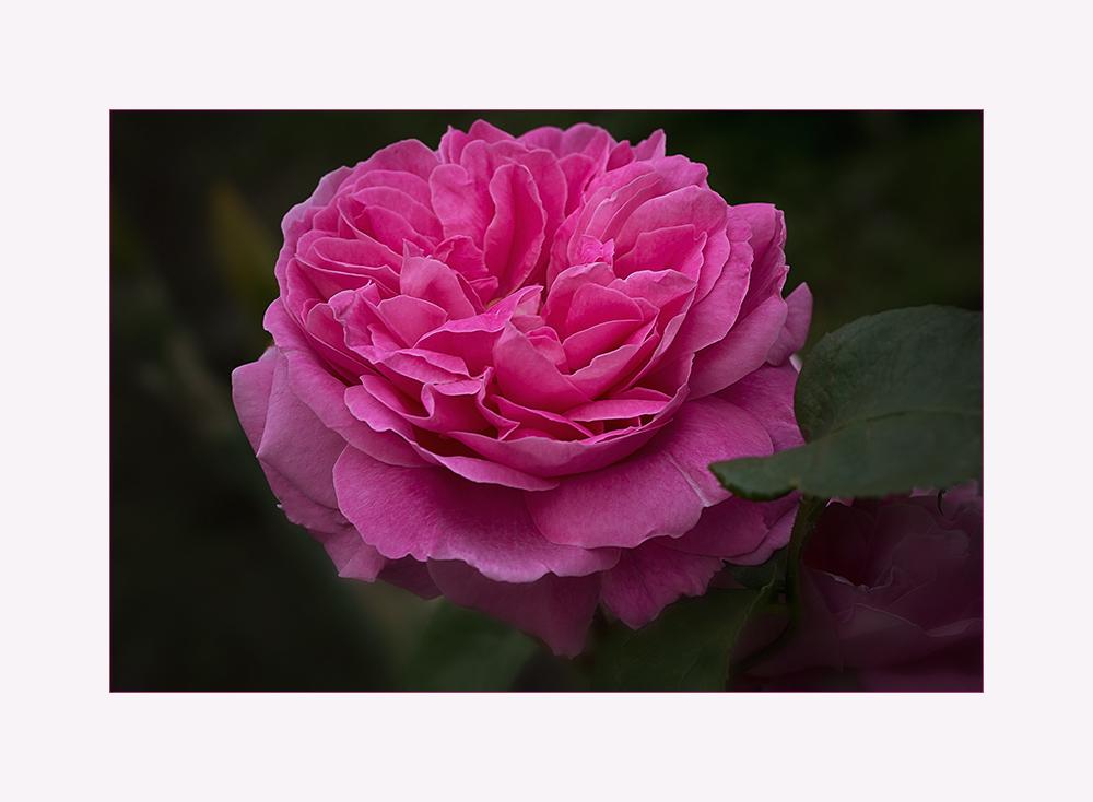 Englische Rose ...