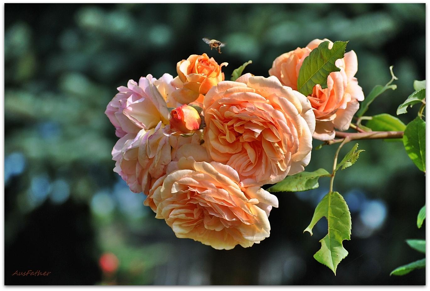 Englische Rose AusFather