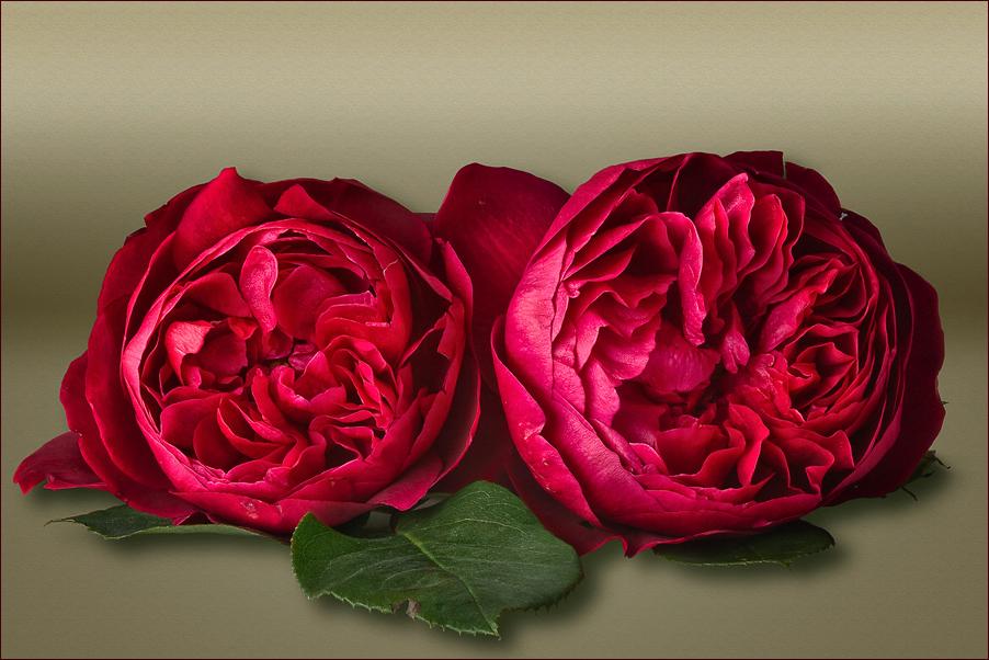 Englische Rose / Austin Rose: L.D. Braithwaite -  Für alle buddies, die nicht in com aktiv sind...