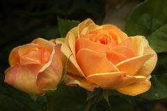 Englische Rosen...