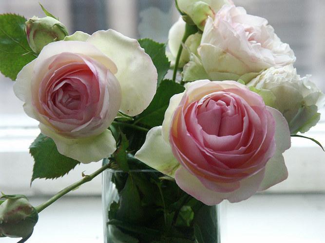 englische rosen foto bild pflanzen pilze flechten. Black Bedroom Furniture Sets. Home Design Ideas