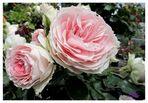 englische Rosen sind wunderschön !