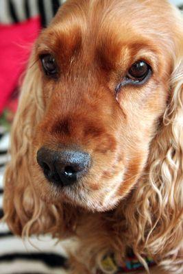 Englischer Cocker Spaniel, Portrait