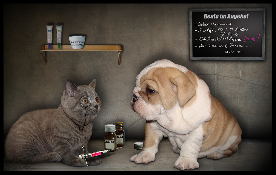 English Bulldog in Beauty Salon