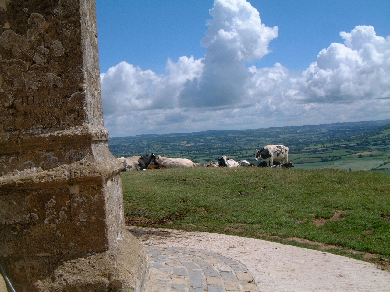 Enjoying the outlook - Cows on Glastonbury Tor