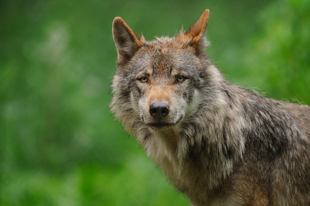 Entdeckt: Wolf in der Heide.