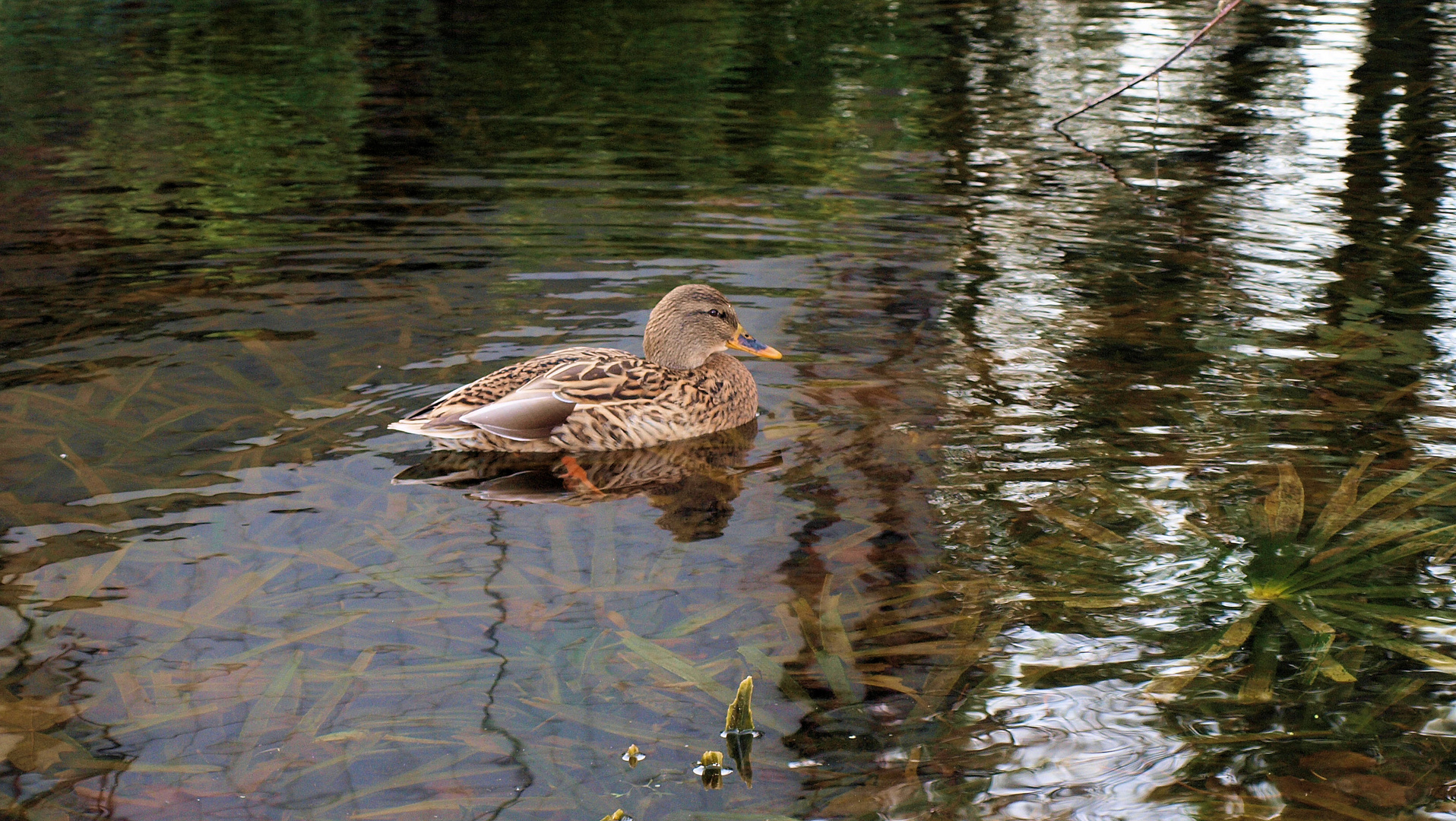 Ente allein im Teich ;)