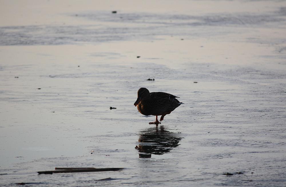 Ente am Steinhuder Meer - kalte Füße...