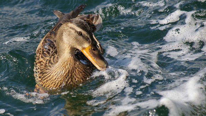 Ente am Untersee (Bodensee)