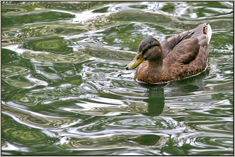 Ente an grüner Soße