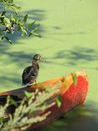 Ente auf Boot