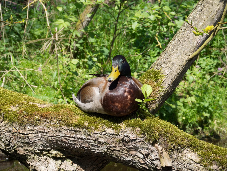 Ente auf der Alster hält Siesta