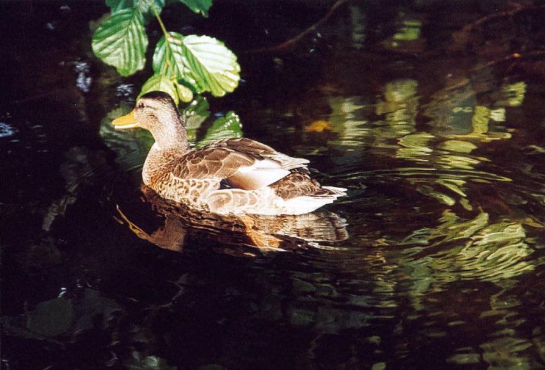 Ente auf der Flucht...