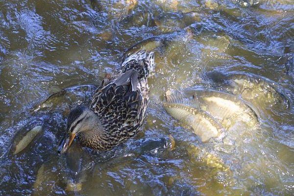 Ente auf Karpfen im Kampf um ein Brötchen