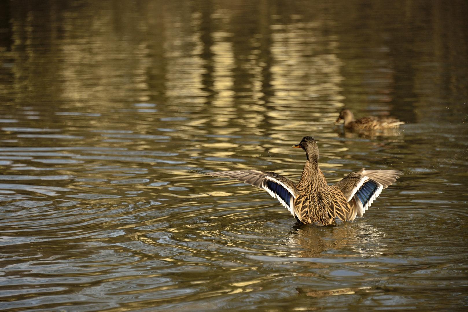 Ente beim Abflug