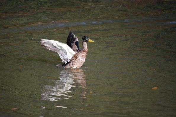 Ente beim Flugstart!