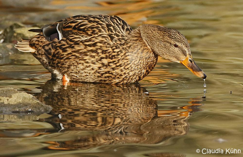 Ente beim trinken im Sonnenschein