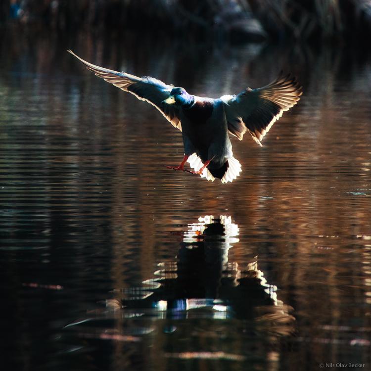 Ente beim Wassern