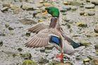 Ente für Federnstudie