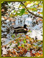 Ente im Herbst
