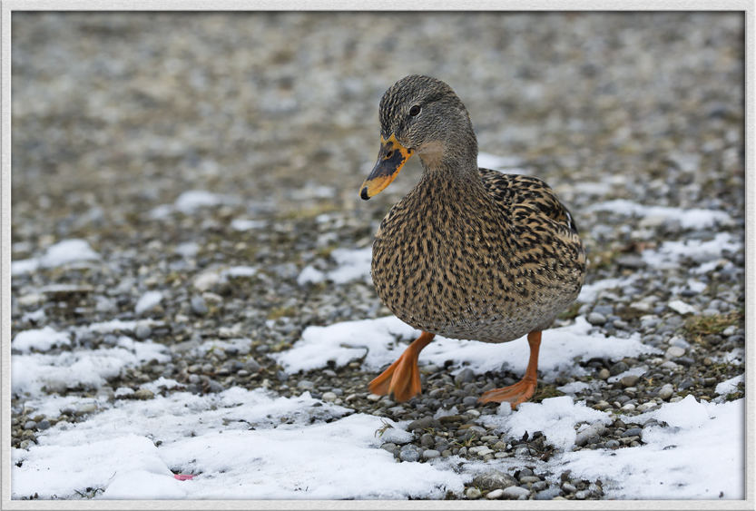 Ente im Schnee
