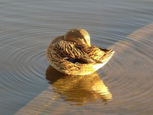 Ente im Sonnenlicht