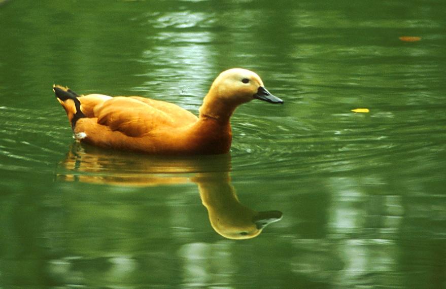 Ente im Tierpark Petermoor II