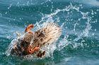 Ente im Überschlag