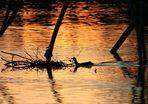 Ente in Abendstimmung
