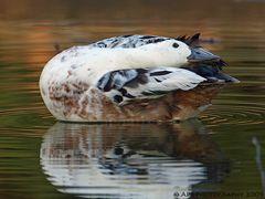 Ente in winterlicher Lichtstimmung