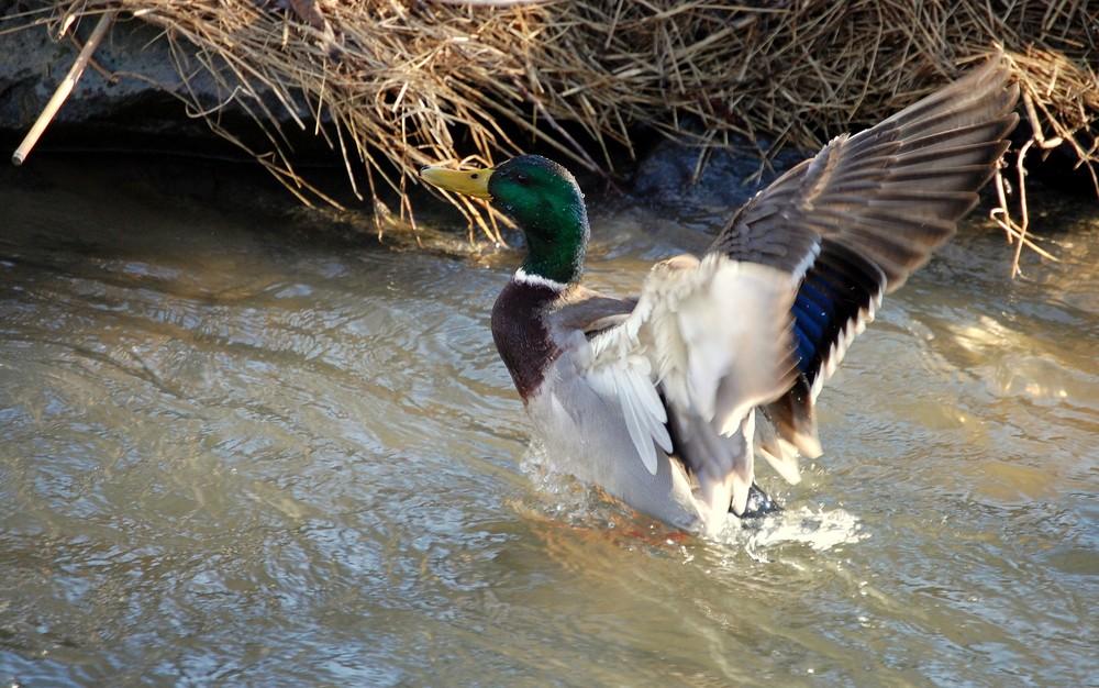 Ente kurz vor dem Abflug