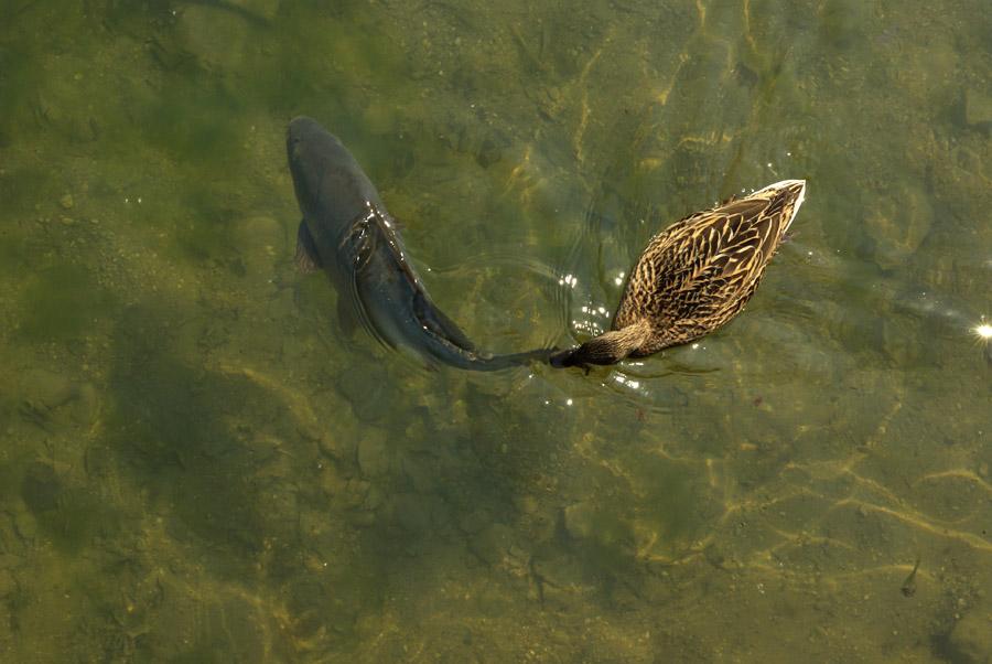 Ente schnappt Karpfen