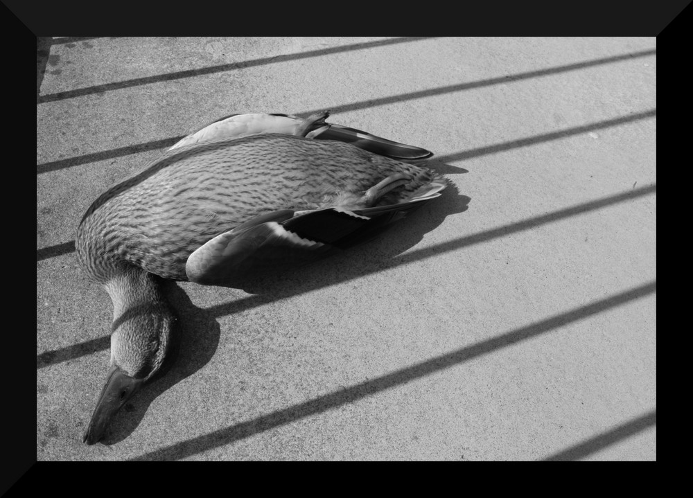 Ente, sehr tot und nun in s/w