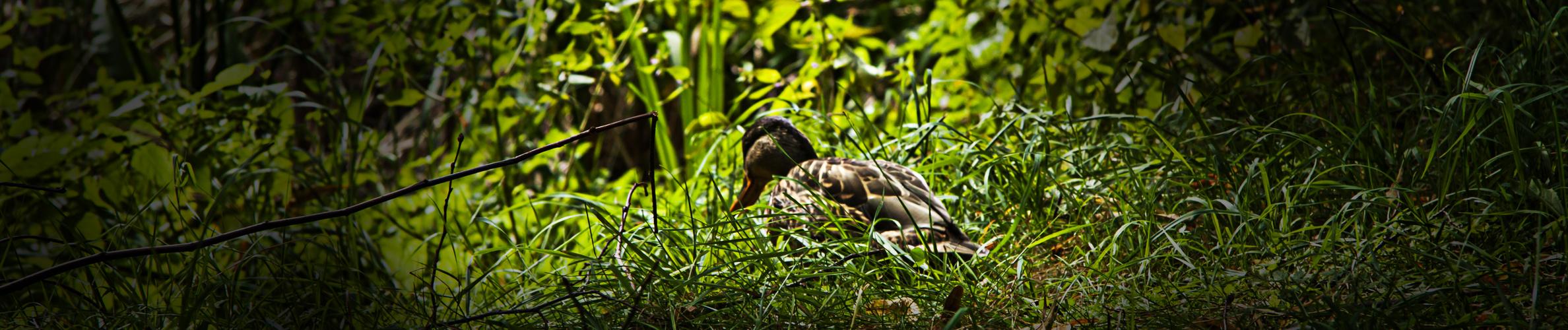 Ente süß nicht sauer