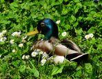 Ente unter Gänseblümchen
