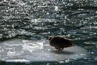 Ente vom Königssee
