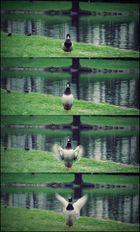 Ente vor dem Abflug :)