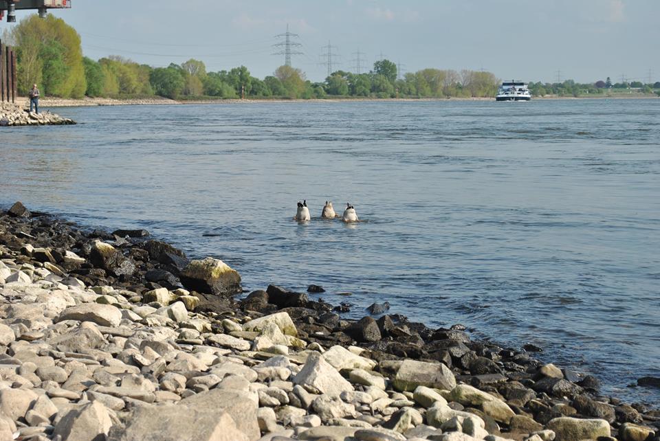 Enten am Rhein