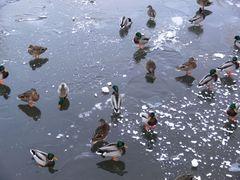 Enten auf dem Eis