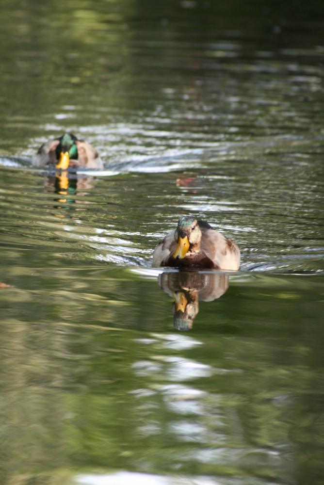 Enten auf dem Neckar