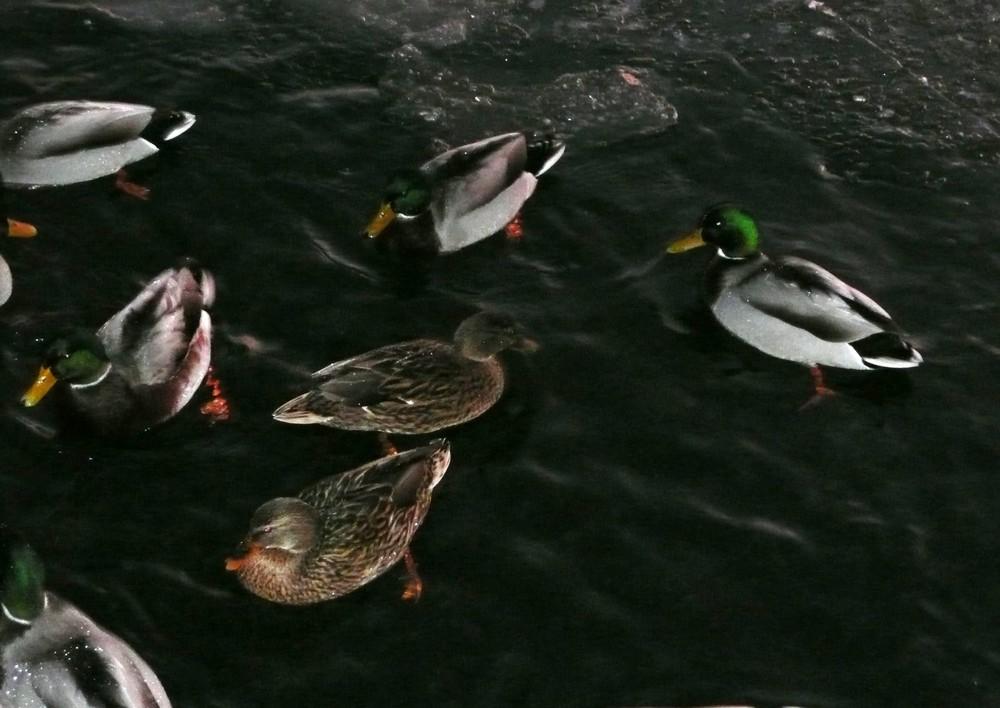 Enten auf der eisigen Elbe