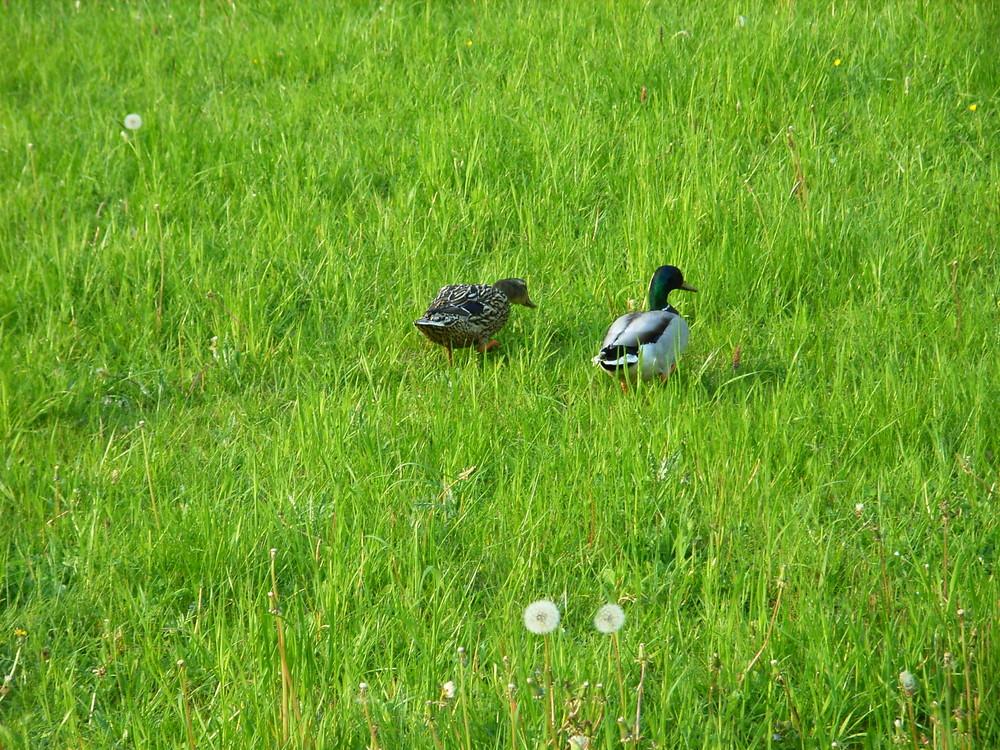 Enten auf Wiese im Frühling