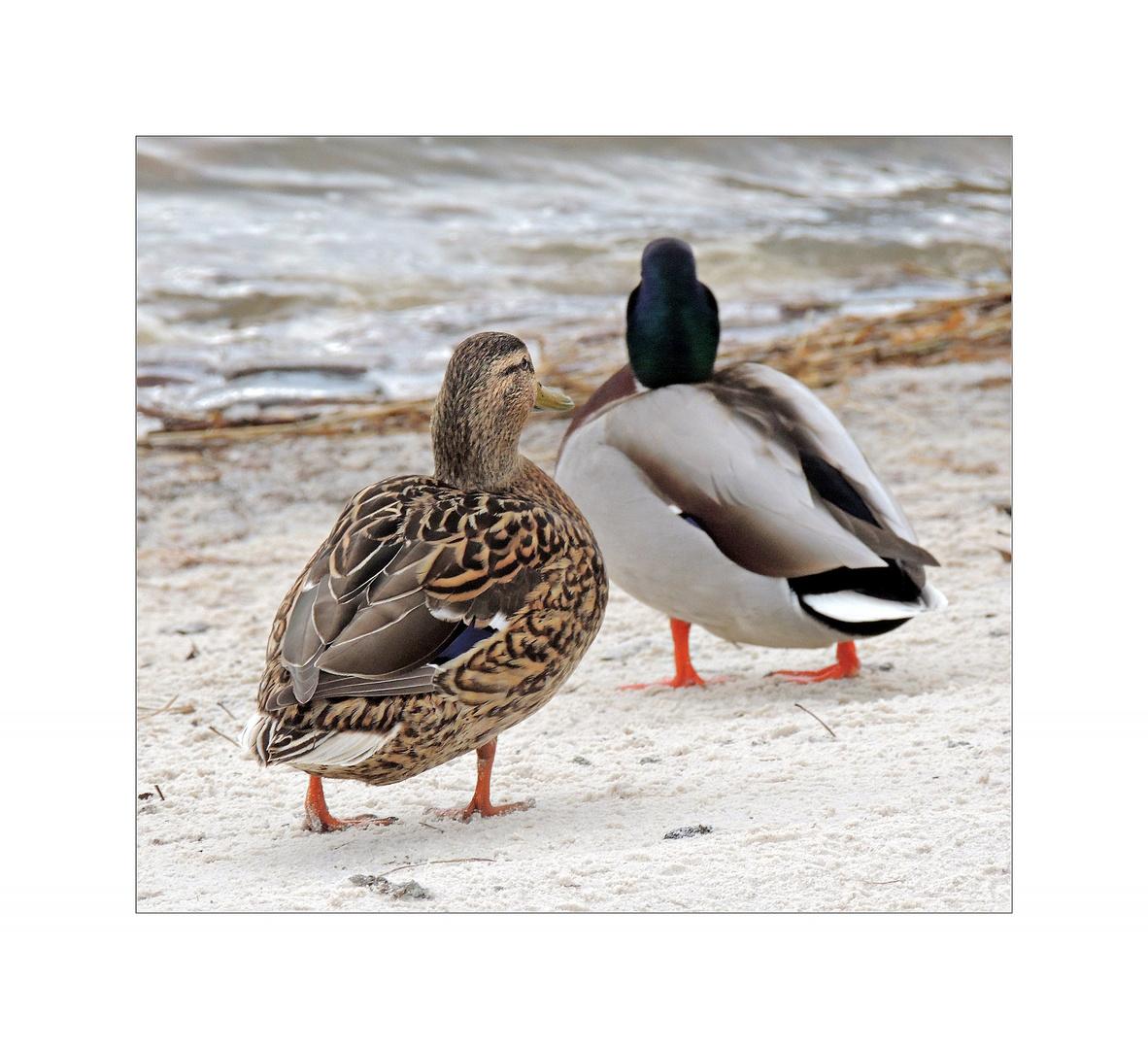 Enten-Ehe-Paar